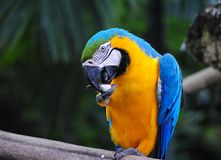Macaw Licking Stock Photo