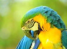 Macaw lindo Fotos de archivo