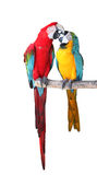 Macaw in love Stock Photo