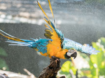 Macaw. S are beautiful, brilliantly colored members of the parrot family Stock Photography