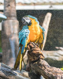 Macaw. S are beautiful, brilliantly colored members of the parrot family Stock Image