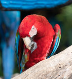 Macaw. S are beautiful, brilliantly colored members of the parrot family Royalty Free Stock Photography