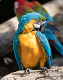 Macaw. S are beautiful, brilliantly colored members of the parrot family Royalty Free Stock Photos