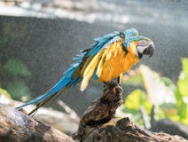 Macaw. S are beautiful, brilliantly colored members of the parrot family Royalty Free Stock Photo