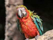 """Macaw. S are often described as people's """"dream bird;"""" that is, the companion parrot they would have if only they owned a home, had a spouse who was as Stock Images"""