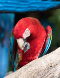 """Macaw. S are often described as people's """"dream bird;"""" that is, the companion parrot they would have if only they owned a home, had a spouse who was as Royalty Free Stock Photos"""