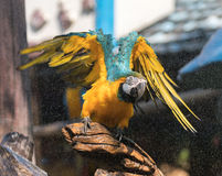 """Macaw. S are often described as people's """"dream bird;"""" that is, the companion parrot they would have if only they owned a home, had a spouse who was as Stock Photos"""