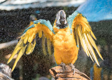 """Macaw. S are often described as people's """"dream bird;"""" that is, the companion parrot they would have if only they owned a home, had a spouse who was as Stock Photography"""