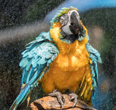 """Macaw. S are often described as people's """"dream bird;"""" that is, the companion parrot they would have if only they owned a home, had a spouse who was as Stock Photo"""
