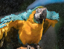 """Macaw. S are often described as people's """"dream bird;"""" that is, the companion parrot they would have if only they owned a home, had a spouse who was as Royalty Free Stock Photo"""