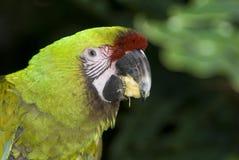 Macaw militaire (militaris d'Ara) Image libre de droits