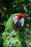 Macaw militar brillante Imágenes de archivo libres de regalías