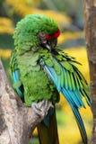 Macaw militar coloreado brillante Imagenes de archivo