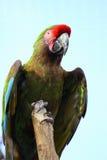 Macaw militar colorido brilhante Fotos de Stock