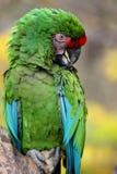 Macaw militar colorido brilhante Fotos de Stock Royalty Free