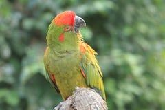 Macaw militar verde Fotos de archivo