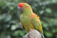 Macaw militar verde Fotos de archivo libres de regalías