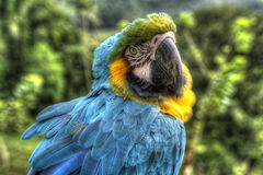 Macaw. Multicolor american bird climbing similar to parrot Stock Images
