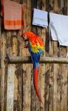 Macaw nel Amazon Immagini Stock Libere da Diritti