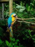 Macaw o loro hermoso y colorido dentro de la selva Foto de archivo