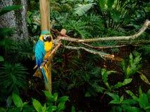 Macaw o loro hermoso y colorido dentro de la selva Foto de archivo libre de regalías