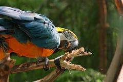 Macaw oder Papagei mit gelben blauen Federn Stockbild