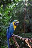 Macaw ou papagaio com as penas amarelas e azuis Imagem de Stock Royalty Free
