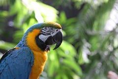 Macaw ou perroquet avec les clavettes jaunes et bleues Photos libres de droits