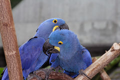 Macaw Pair. Playing in a tree stock image