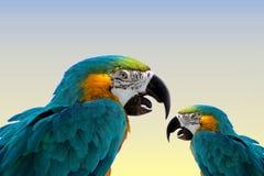 Macaw papagaio-mesmo Imagens de Stock Royalty Free