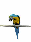 Macaw, papagaio sobre o branco. Fotografia de Stock