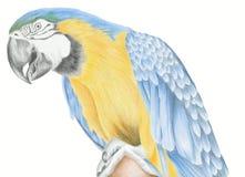 Macaw-Papagei Stockfoto