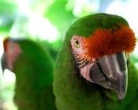 Macaw-Papageiennahaufnahme Stockfoto