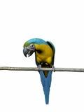 Macaw, pappagallo sopra bianco. Fotografia Stock