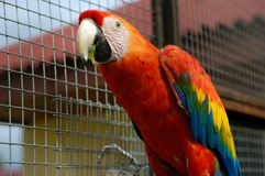Macaw parrot. Eating grape Royalty Free Stock Images
