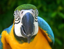 Macaw Parrot. Blue,gold and green macaw,parrot, with beautiful facial markings and brilliantly colored feathers royalty free stock photos
