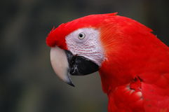 Free Macaw Parrot Royalty Free Stock Images - 17522939