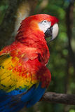 Macaw parrot. Photographed in natural jungle setting of Roatan, Honduras Royalty Free Stock Image