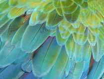 Macaw parrot. Close-up of the feathers of a green or blue and gold macaw parrot Stock Photography