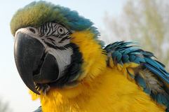Macaw parrot. Portrait of blue and gold feathered macaw parrot outdoors stock images