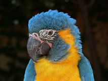 Macaw parrot. Close-up of head, beak and plumage Stock Photography