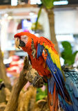 Macaw parrot appear funny holding wood Stock Photography