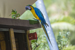 Macaw parrot, ara Royalty Free Stock Image