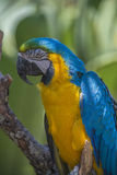 Macaw parrot, ara Stock Photo