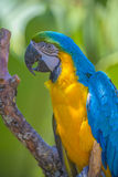 Macaw parrot, ara Royalty Free Stock Images