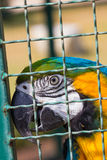 Macaw parrot in bird cage Royalty Free Stock Images