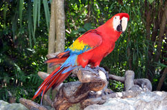 Macaw parrot bird Stock Photography
