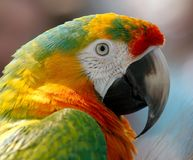 Macaw, Parrot, Bird, Hybrid, Red Royalty Free Stock Image