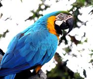 Macaw, Parrot, Bird, Pet, Wildlife Royalty Free Stock Image