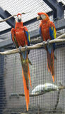 Macaw parrot. Bird vertebrate bright color has a strong beak Stock Images